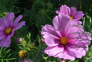 Cosmos in the Liz Stubbs Cutting Garden In Filberg Park